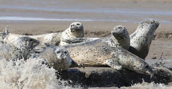 田继光_spotted seals
